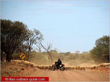 sheep on kingoonya road