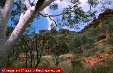gum tree and red rocks