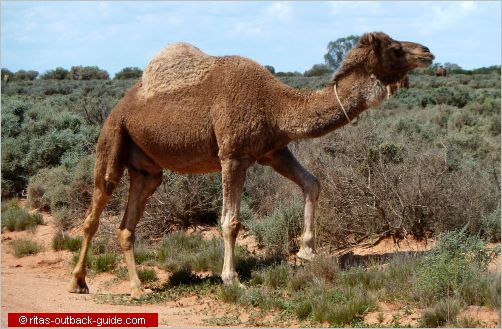 camel in the outback