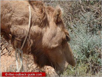 close-up of a camel head