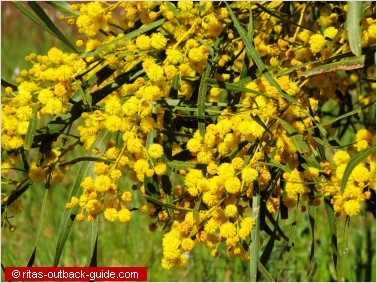 golden wattle flowers