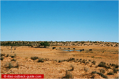 cattle on a waterhole