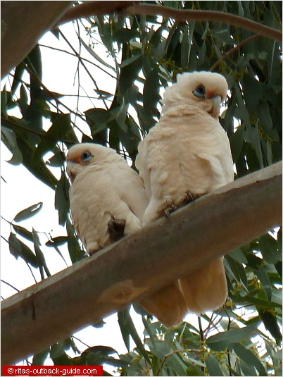 Little corellas siting in a tree