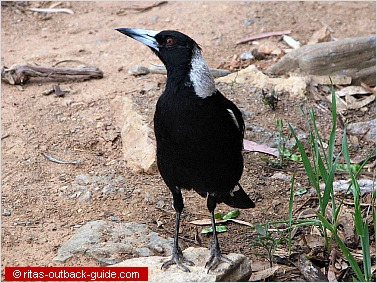 A magpie walking on the ground