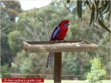 A colourful rosella