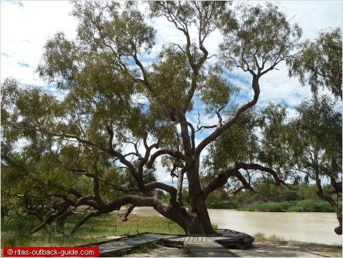 old coolibah tree on a river