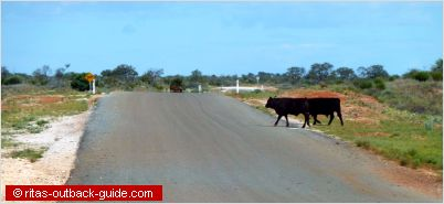 cattle on an outback road