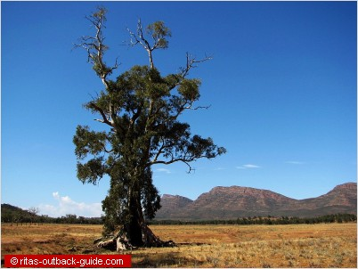 A beautiful old gum tree