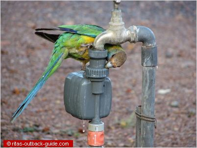 A parrot drinking from a tab