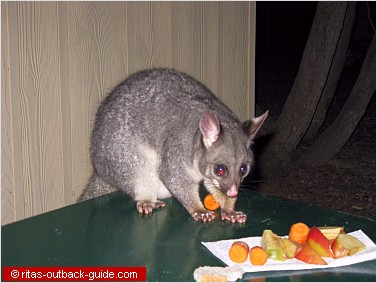 A cute possum at a caravan park in the Flinder Ranges