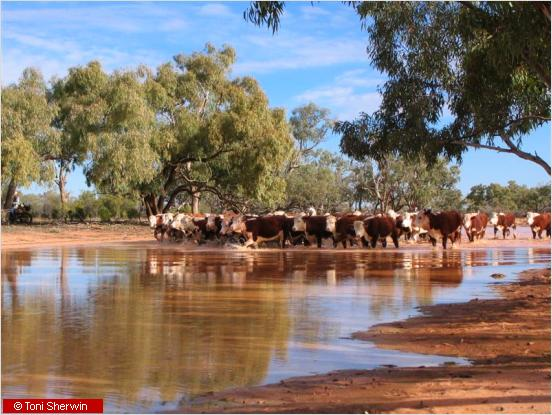Cattle at Kilcowera station in south-west Queensland