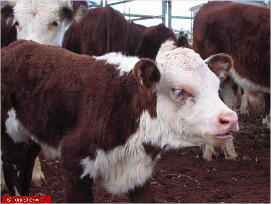close-up of a calf