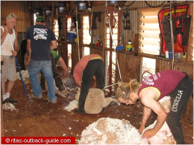 sheep shearing in action