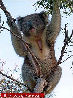 koala climbing up a tree
