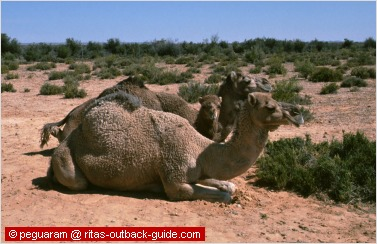 camels in the australian desert