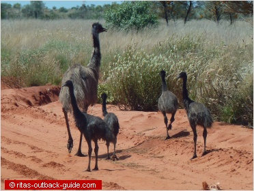 emus on the roadside