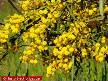 golden wattle flowers