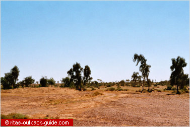 ancient waddi trees in outback queensland
