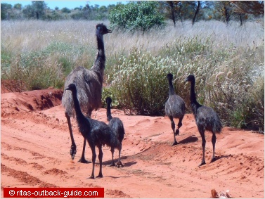 Emu family in the Australian Outback