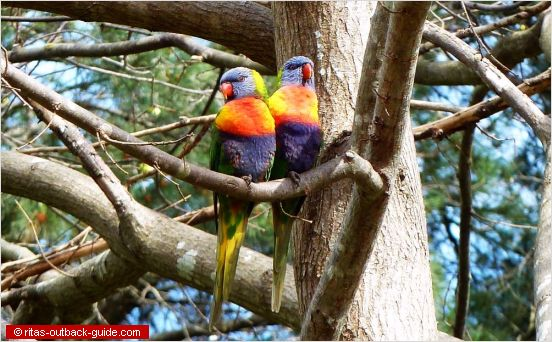 colouful australian birds