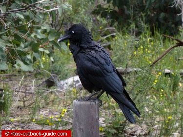 A raven sitting on a post
