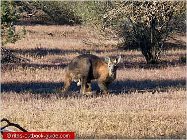 Kanagoo sitting in the bush