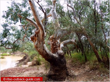 old gum tree