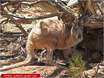 kangaroo beneath a bush