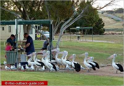 pelicans waiting for food