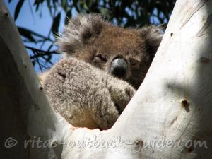 A koala dozing in a branch fork of a tree