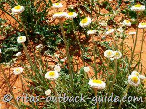 Poached-egg daisies on a red sandy soil