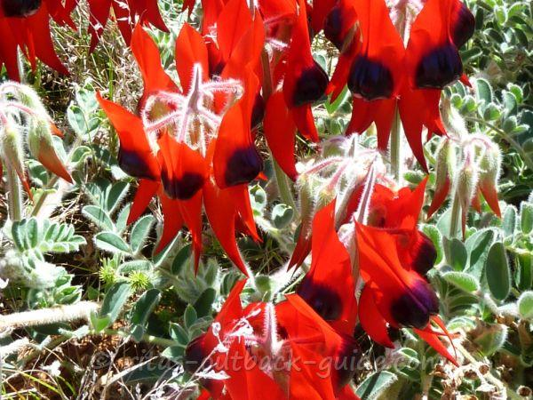 The stunning red flowers of the desert pea