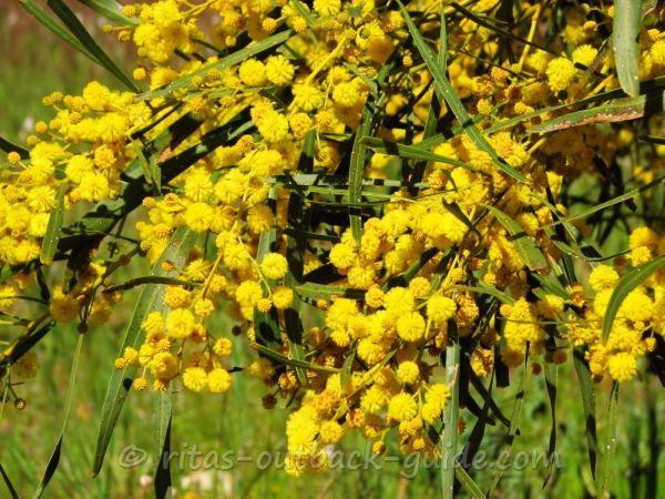 A bush with golden wattle flowers
