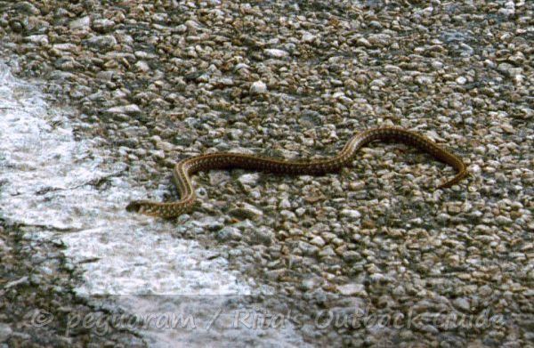 A snake on the road