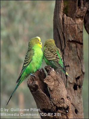 Native budgies in Australia
