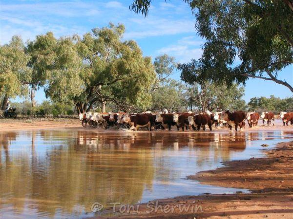 Cattle wading through shallow water