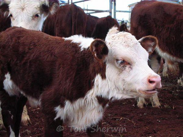 Close-up of a Hereford calf