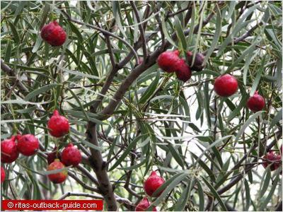 Quandong Tree