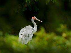 Learn about the Australian crane - photo copyright by OndrejProsicky