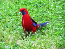 Discover pictures of colourful Australian birds
