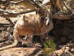 Kangaroo resting below a bush - read more about unique Australian wildlife