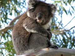 Koala on a tree - read more about the cute animals